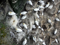 Looking down on the Gannet colony on the Island of Noss